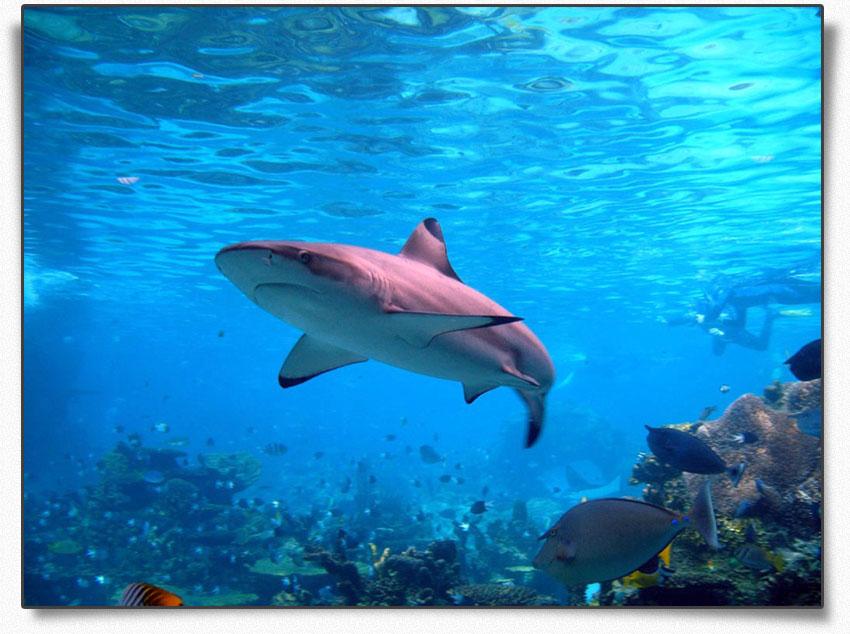 Её часто называют черноморской акулой, но это неверно, так как катран...